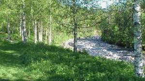 Björkarna i Umeå